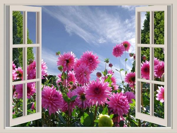 Георгины под окном