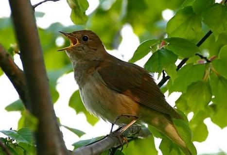 Весенние песни птиц