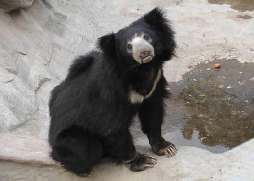 Гималайский медведь-губач