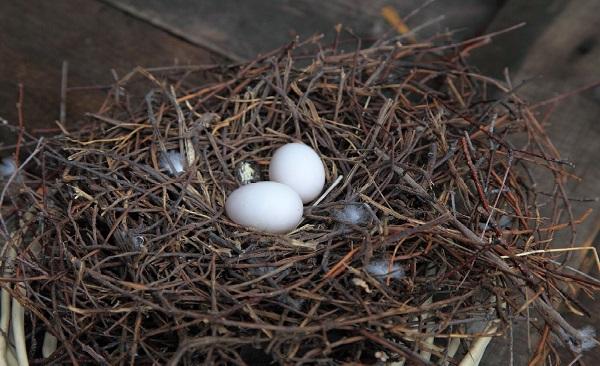 Белые голубиные яйца
