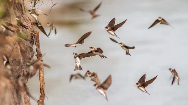 Ласточки-береговушки