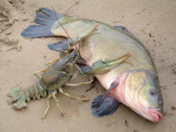 Рыба и рак