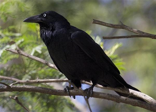 Всеядная птица чёрного цвета из 5 букв
