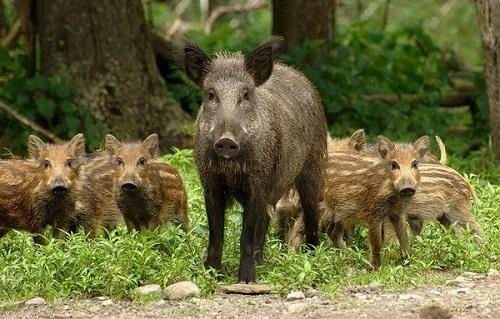 Дикая свинья из 5 букв