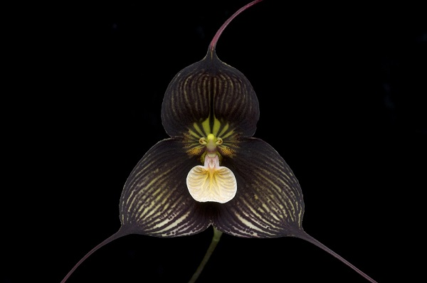 Орхидея Дракула Вампира