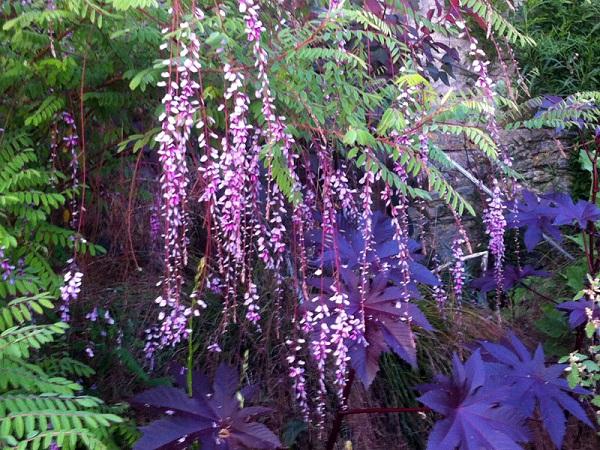 Растения рода индиго (Indigofera)