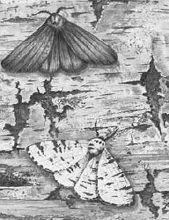 Бабочка берёзовой пяденицы
