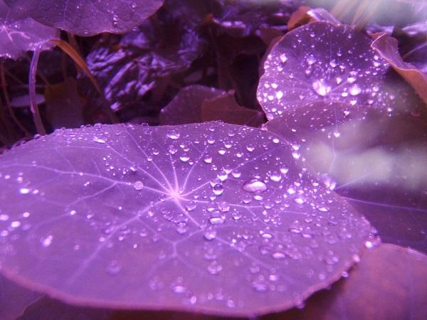 Пурпурная кувшинка