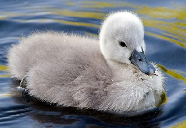 Лебедёнок
