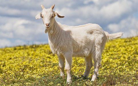 Про козу, мужика и пана