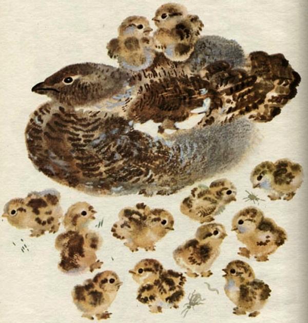 Тетёрка с птенцами