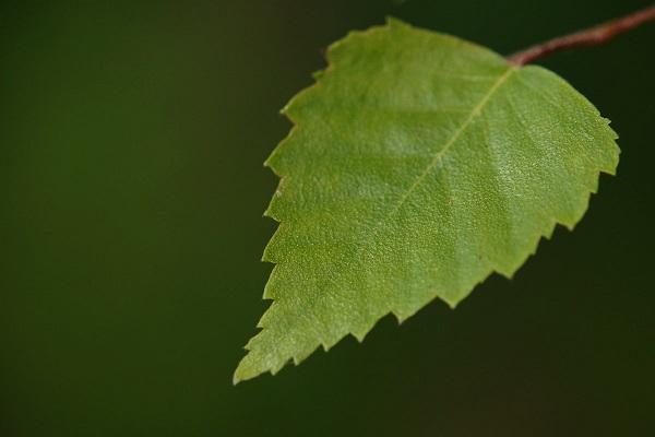 Берёзовый лист