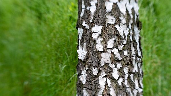 У каких деревьев какие листья