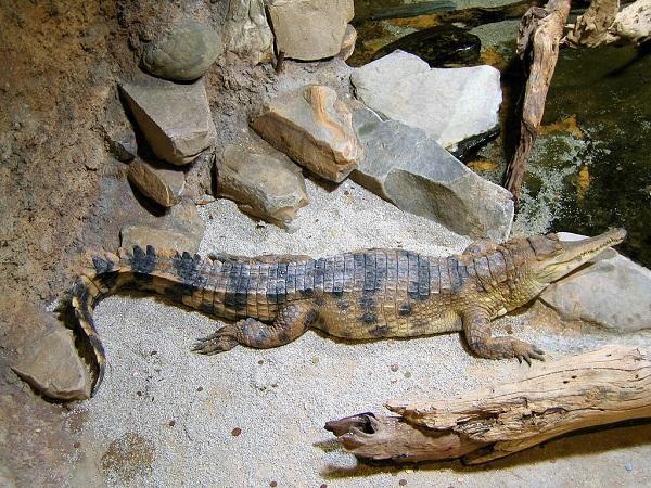 Африканский узкорылый крокодил