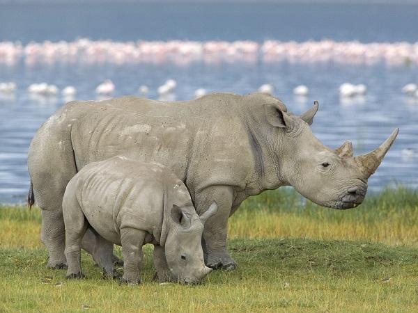 Белые носороги