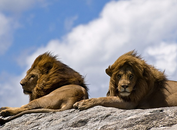 Масайские львы