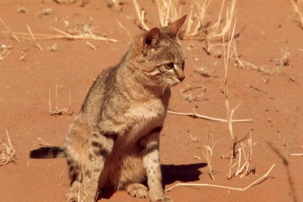 Нубийская кошка