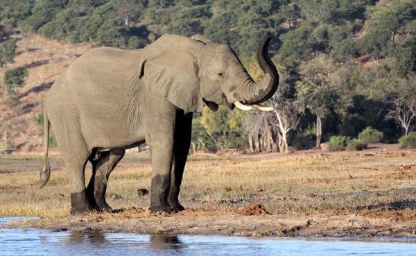 Слон в национальном парке Диндер