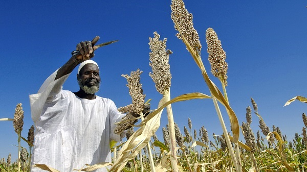 Сорго в Судане
