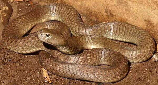 Большая коричневая плюющаяся кобра