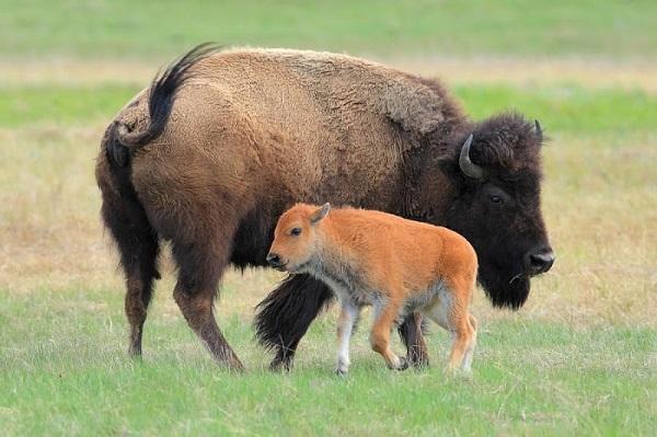Зубр и теленок
