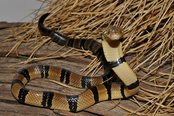 Кольчатая водяная кобра