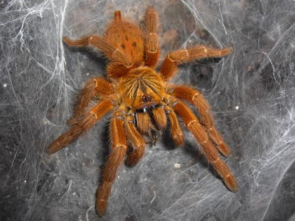 Королевский паук-бабуин