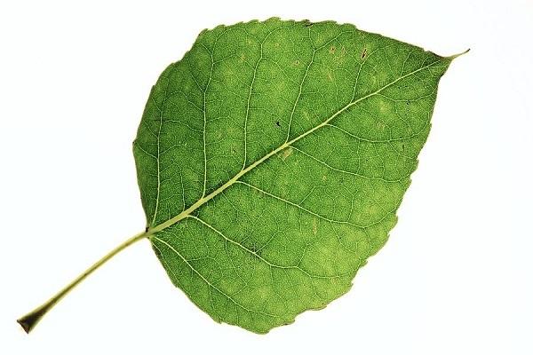 Лист тополя