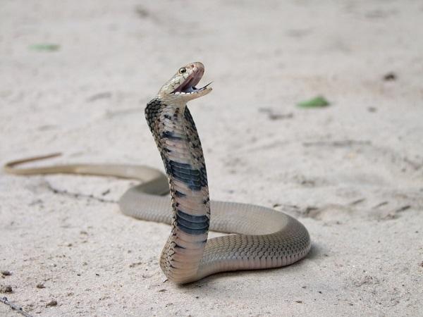 Мозамбикская кобра