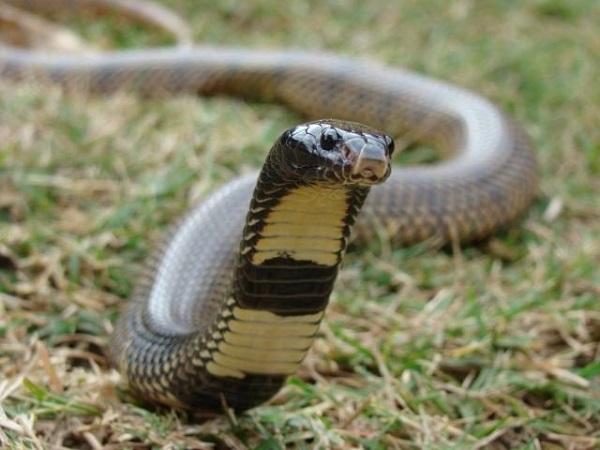 Обыкновенная щитковая кобра