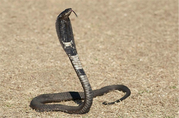 Ошейниковая кобра