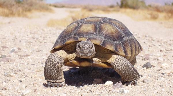 Пустынную черепахи Гофер