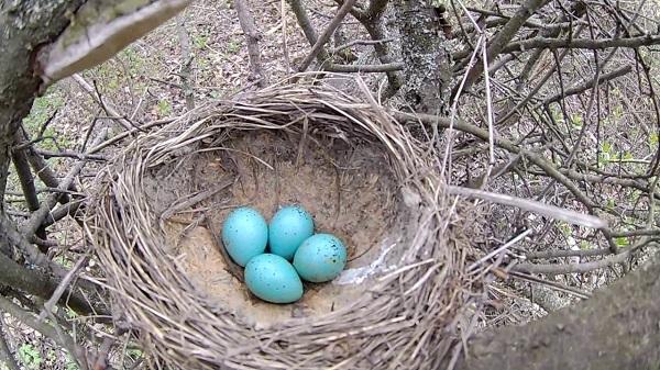 Гнездо певчего дрозда