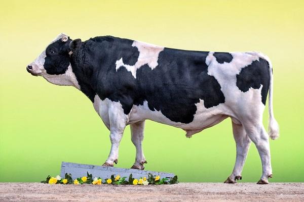 Голшитно-фризская порода быков