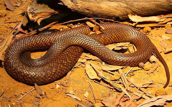 Западная коричневая змея