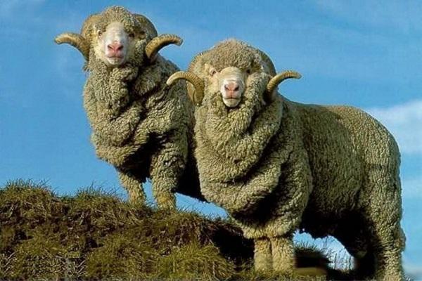 Овцы мериносы
