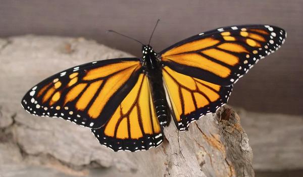 Большая жёлтая бабочка