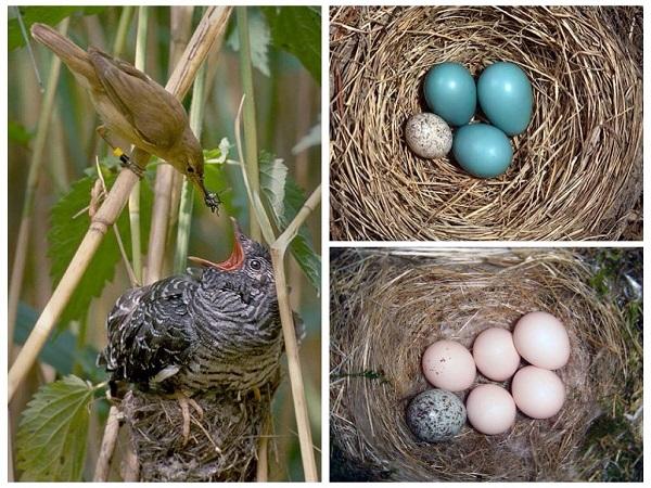 Гнездо кукушки