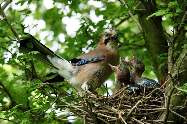 Гнездо сойки