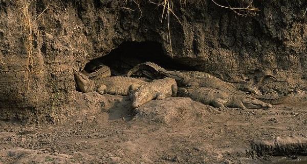 Крокодильи норы
