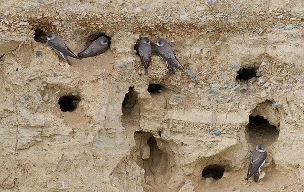 Ласточки береговушки в норах