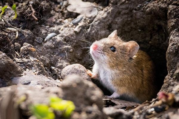 Нора мыши