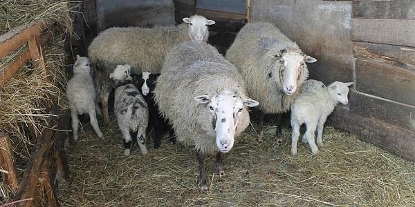 Овцы в хлеву