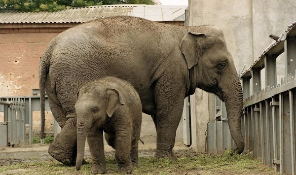 Слоны в слоновнике