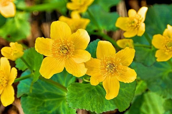 Цветы калужницы