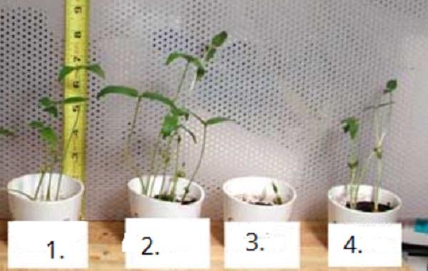 Эксперимент по выращиванию фасоли